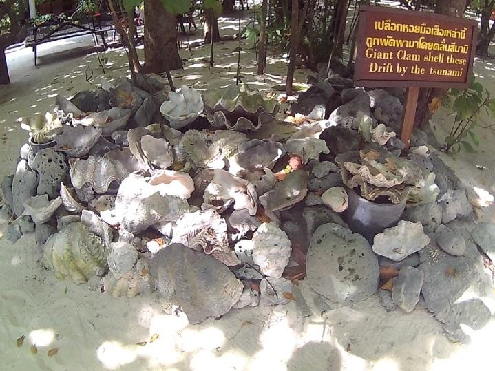 Conchas trazidas do fundo do mar pelo Tsunami