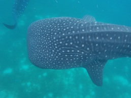 Whale Shark watching