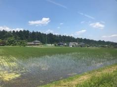 Plantação de arroz, vista do trem